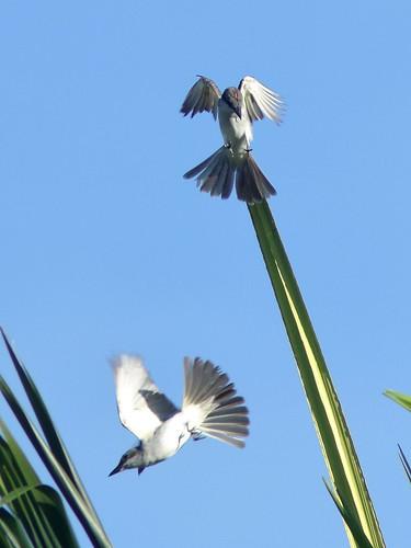 Gray Kingbirds 03-20180823