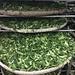 Les feuilles fraîches du Guei Fei