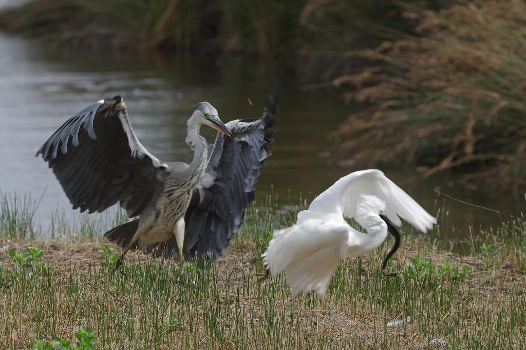 Sortie à la réserve ornithologique du Teich - 24 août 2018 - Page 5 43523589025_163e16ee2a_o