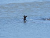 Photo:Great cormorants (カワウ) at Yasugawa in Moriyama By Greg Peterson in Japan