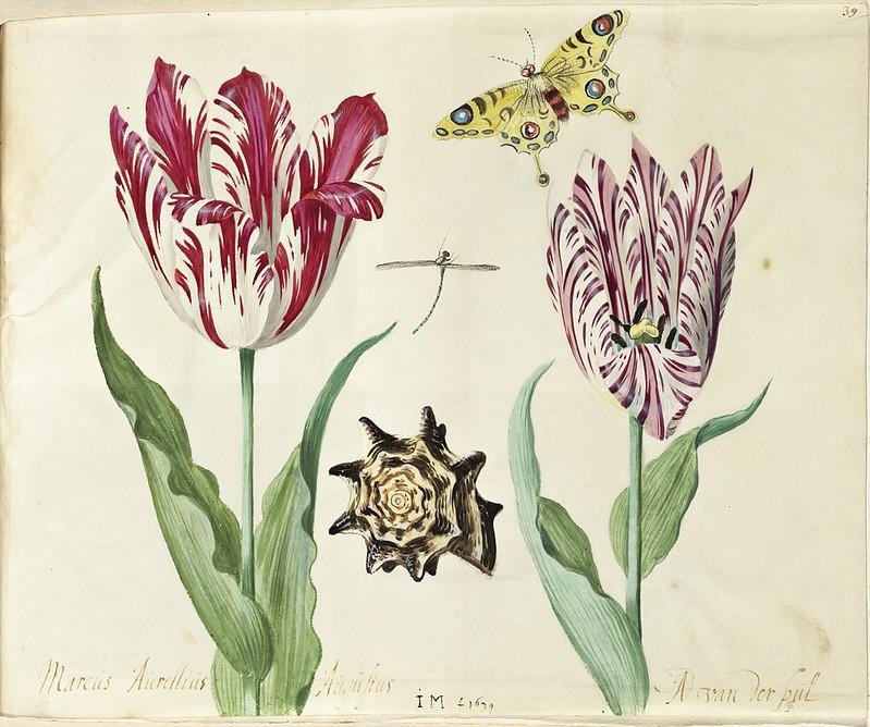 Maria Sibylla Merian - Study of a Tulips