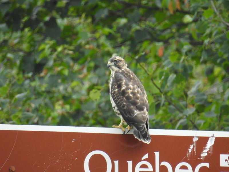 Oiseau de proie 43631239395_8e91d45142_c
