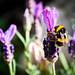 Bee, on Lavendar