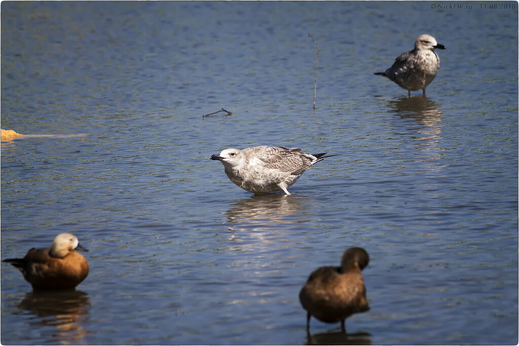 Птицы в пруду © NickFW - 11.08.2018