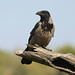 Hooded crow ---- Corvus cornix by creaturesnapper