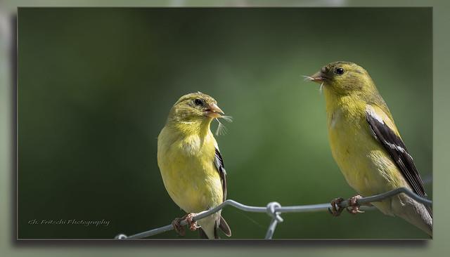 Chardonneret Jaune / Gold Finch / Spinus tristis