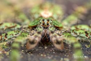 Green wandering spider (Viridasiidae) - DSC_9816