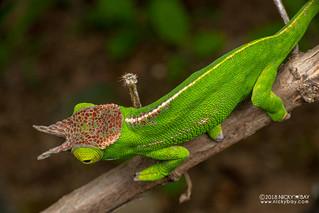 Canopy chameleon (Furcifer willsii) - DSC_9677