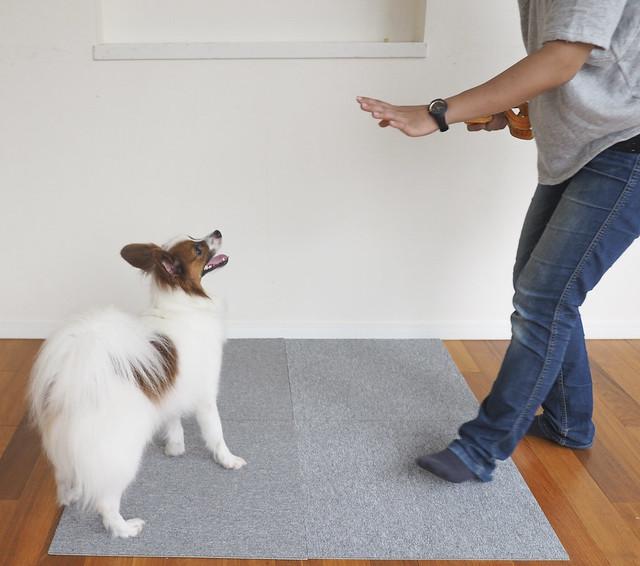 災害への対策として、マテのしつけをしている犬
