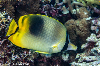 IMG_7860-Diving-290718-Hybrid. Butterflyfish.jpg