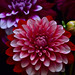 No, not another Dahlia from my yard! Sorry. . by Don Briggs