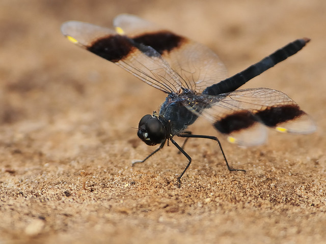 Odonata, Nikon D300, AF-S Nikkor 300mm f/4D IF-ED