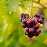 2018:09:16 18:28:16 - Wein - Fruit Bokeh - Tarbek - Schleswig-Holstein - Deutschland