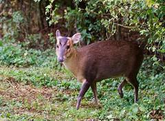 Muntjac (2 of 3) - Taken at Summer Leys Nature Reserve, Nr Wollaston, Northants. UK.