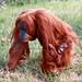 Internationaler Tag des Orang-Utans – International Orangutan Day