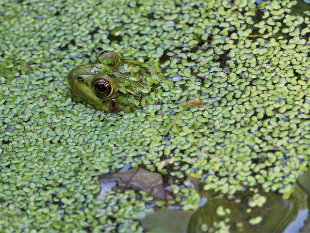 Keeping His Froggy Head Above Water