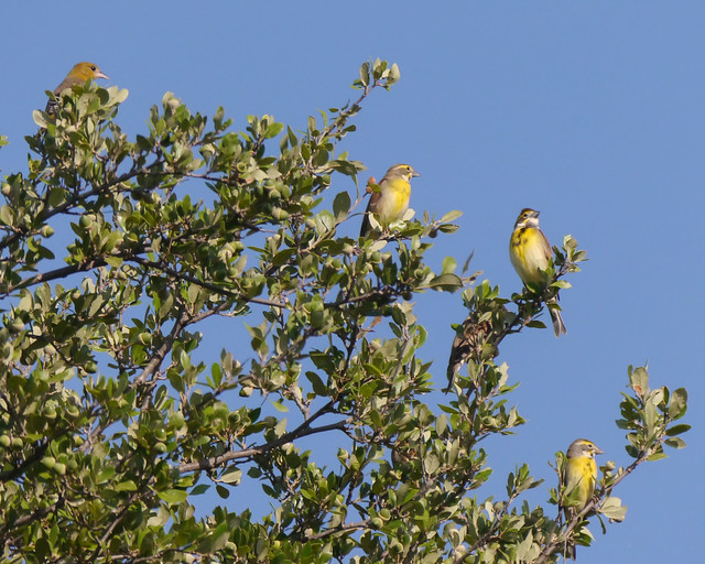 Baltimore Oriole and Dickcissels