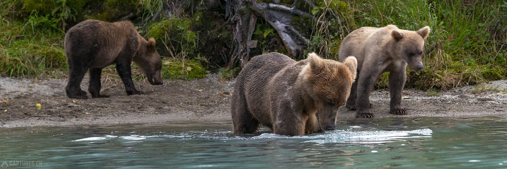 Mama bear and the youngsters - Alaska