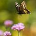 Black Swallowtail #2 by ronniegoyette