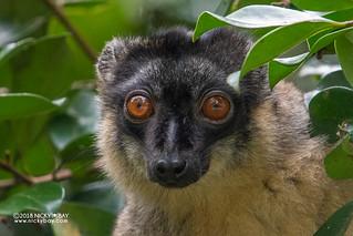 Brown lemur (Eulemur fulvus) - DSC_8148