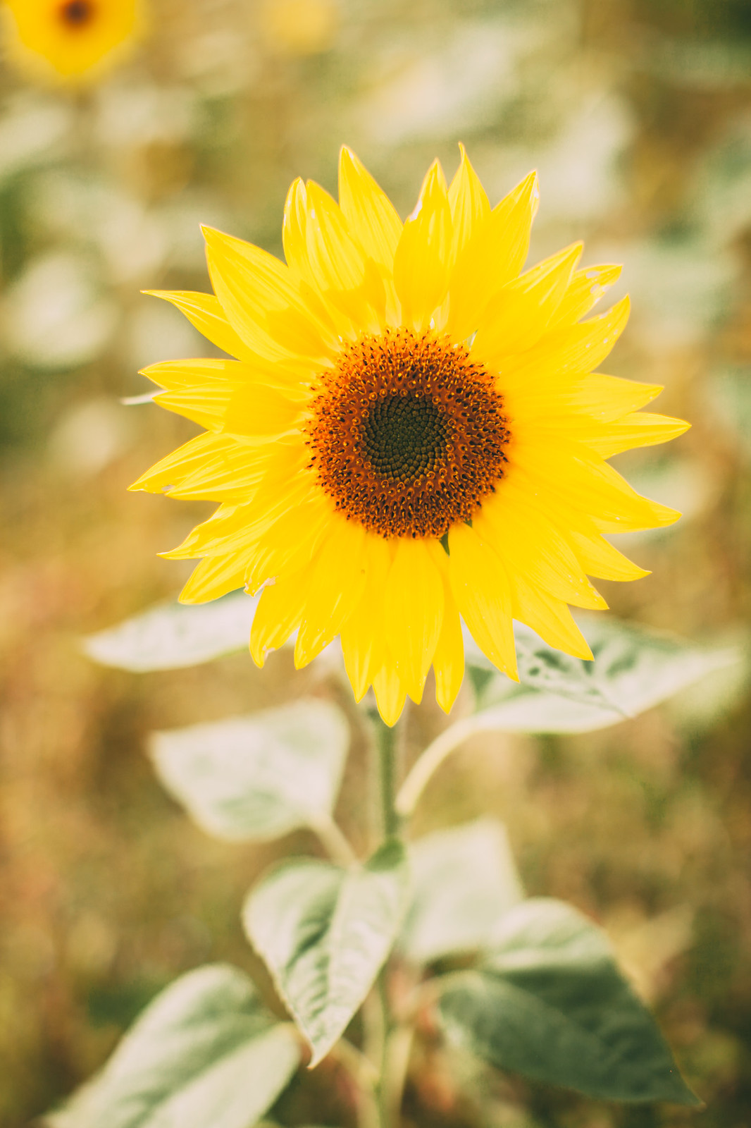 sunflower field-22
