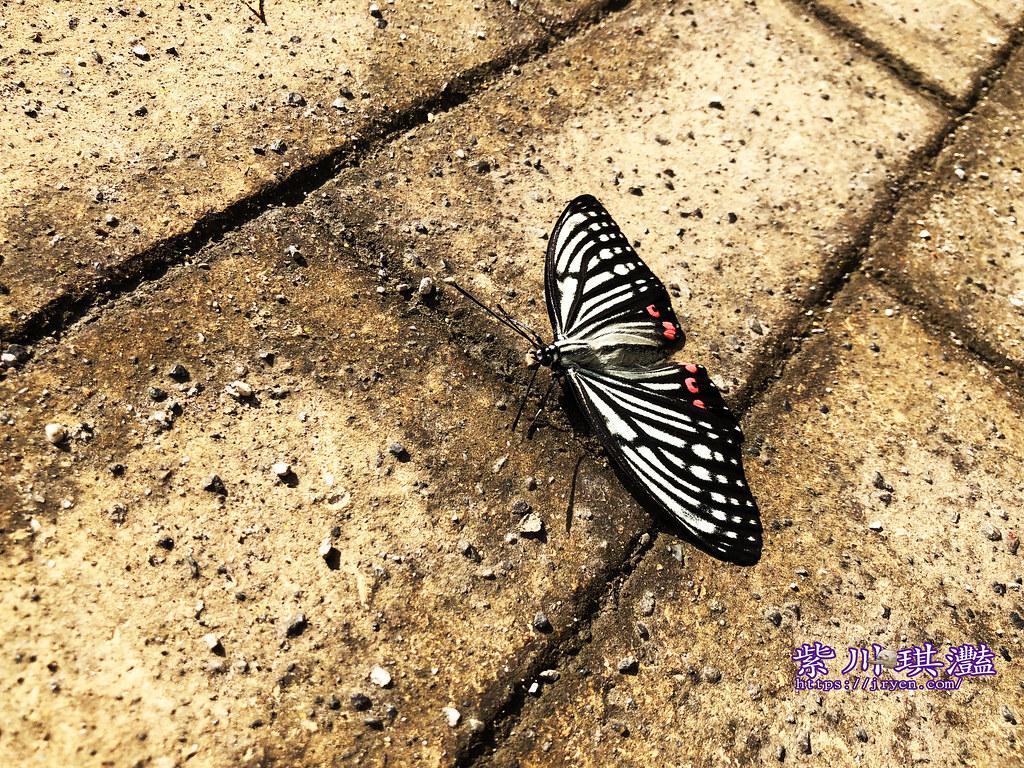 日本蝴蝶-001