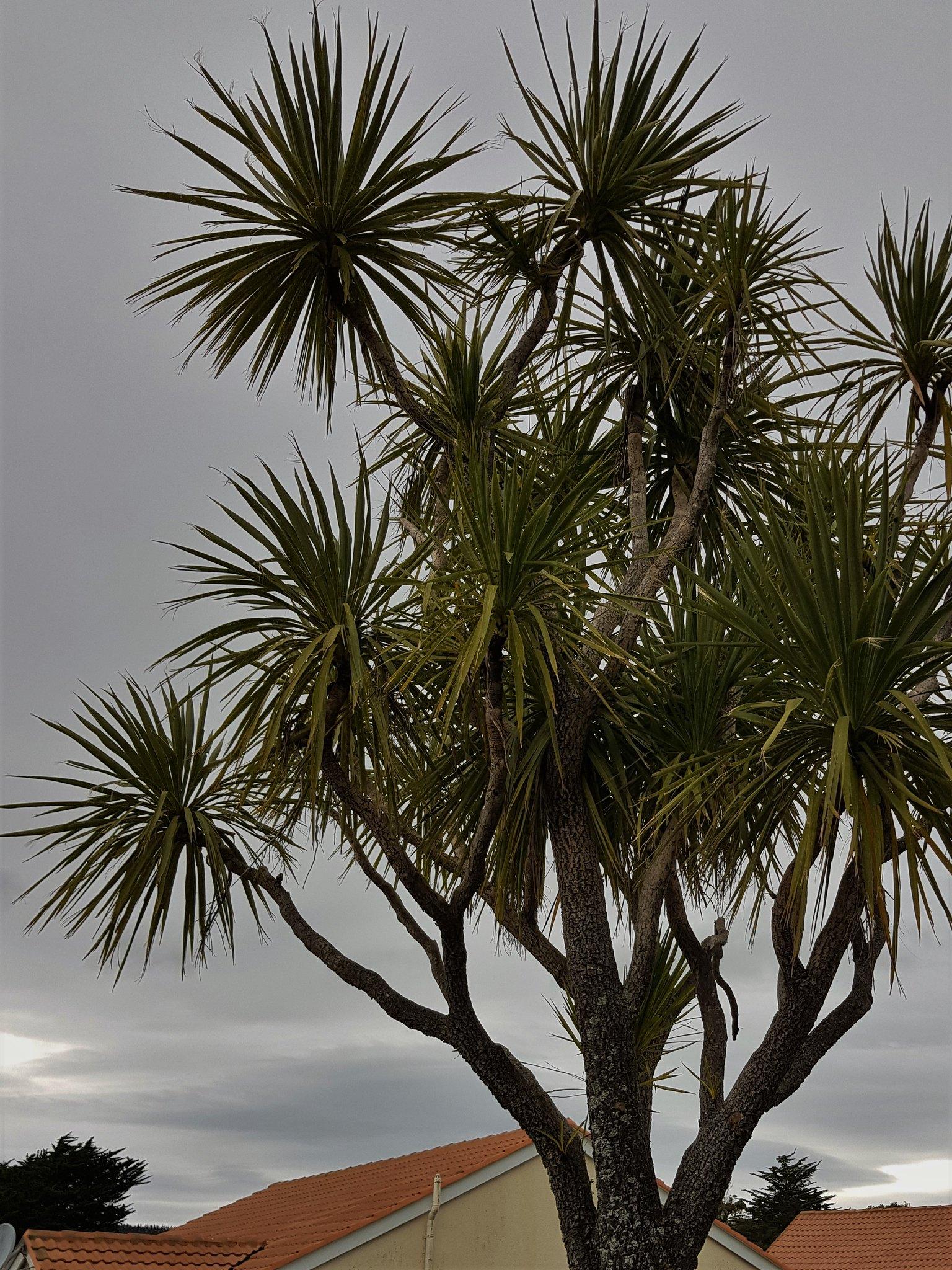 20180820_082640 (tī kōuka, Cordyline australis)