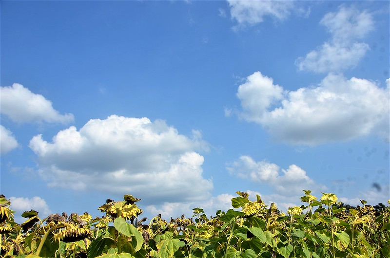 Sunflower fields 18.08 (1)