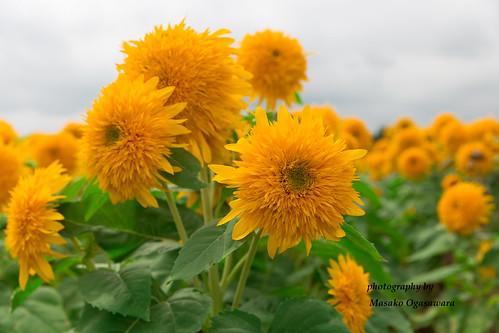 sunflower fields at the Akeno Sunflower Festiva