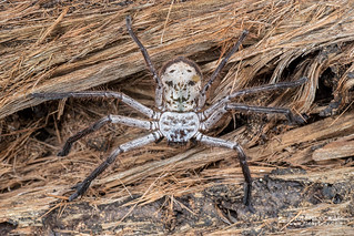 Huntsman spider (Damastes sp.) - DSC_1956