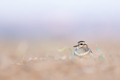 Dotterel - Mornellregenpfeifer