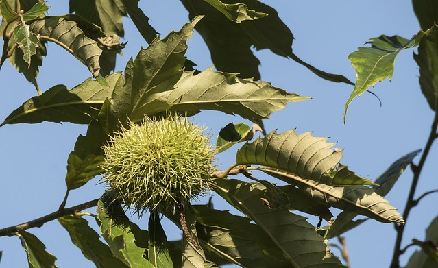 Fruit of the American Chestnut