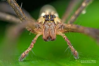 Pisaurid spider (cf. Pisauridae) - DSC_9730