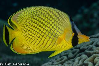 IMG_7671-Diving-280718-latticed butterflyfish- Chaetodon rafflesi.jpg
