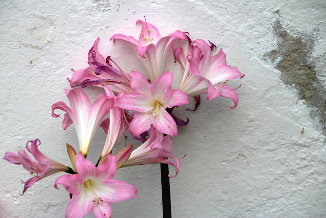 Fading Guernsey Lilies