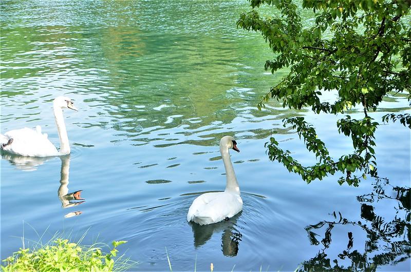 Swans 21.08 (6)