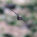 Swift (Apus apus)