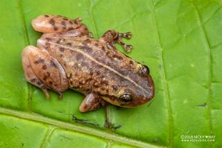 Narrow-mouthed frog (Platypelis tuberifera) - DSC_0266