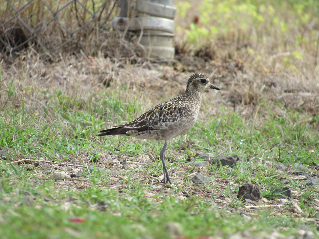 Pacific-Golden Plover 9/2/18