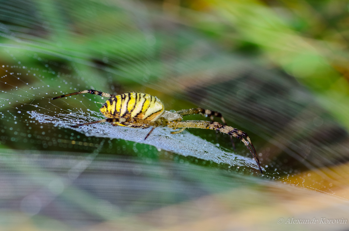 Wasp spider sits at the center of its web