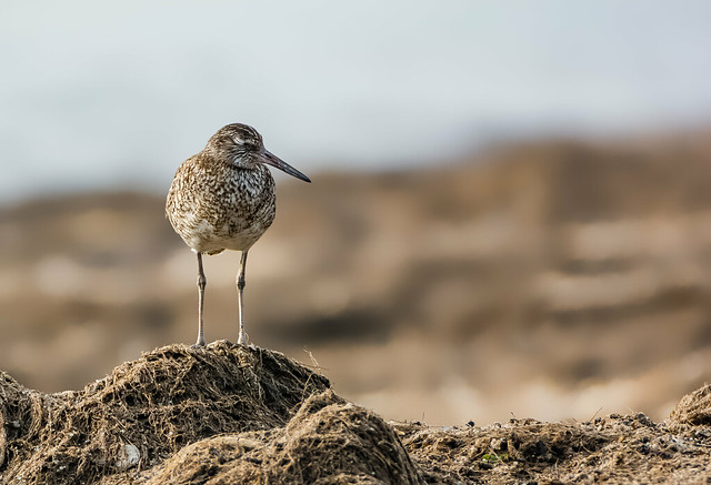 Willet Fall Asleep by Anthony VanSchoor