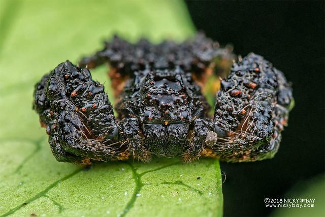 Bird-dung crab spider (Phrynarachne sp.) - DSC_2804