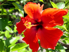 Photo:Chinese hibiscus (Hibiscus rosa-sinensis, ブッソウゲ) By Greg Peterson in Japan
