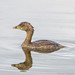 Pied-Billed Grebe by Romair