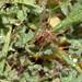 Phalangium opilio 1130982