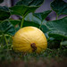A Growing Pumpkin Patch by WOW Philippines Travel Agency