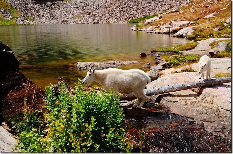 Mountain goat at upper willow Lake (8)
