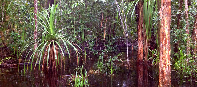 Daintree Swamp