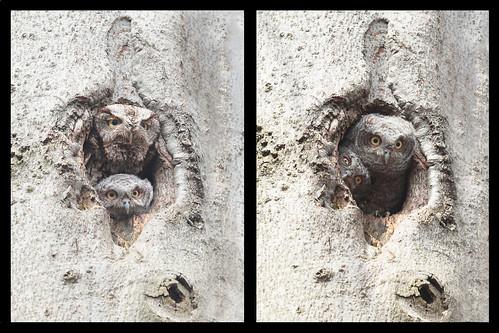 Petit-duc maculé /  eastern screech-owl