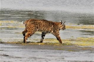 Lynx rufus californicus Bobcat #6